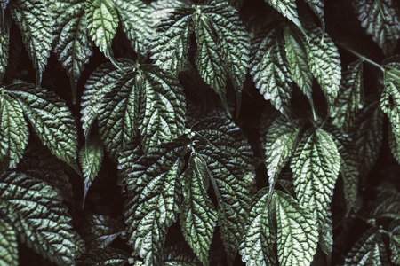 Texture of green grape leaves closeup