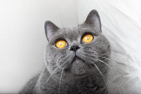 Muzzle of gray British cat close up