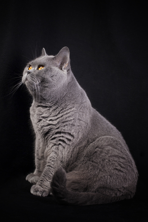 Gray shorthair British cat sitting on a black background and looking up Imagens