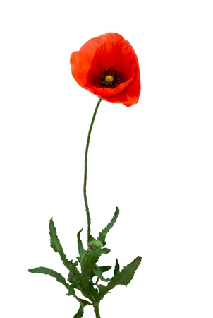 poppy flower isolated on white background photo