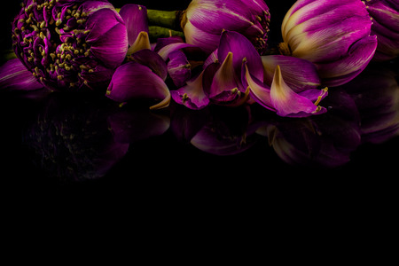 lotus flowers: Pink lotus flowers on a black background with reflection, Free space for text.