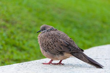 fat bird: fat grey bird in public park with green background