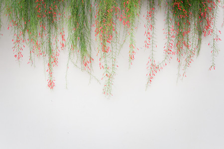 ornamental bush: white wall background with firecracker plant or Russelia equisetiformis above Stock Photo