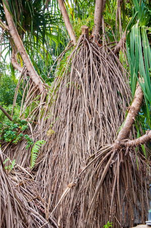 tropical climate: Closeup of mangrove roots in tropical climate