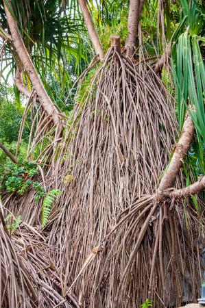 clima tropical: De cerca de las raíces de mangle en el clima tropical Foto de archivo