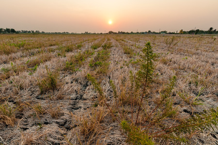 hayrick: rice field after harvest in evening with many weeds Stock Photo