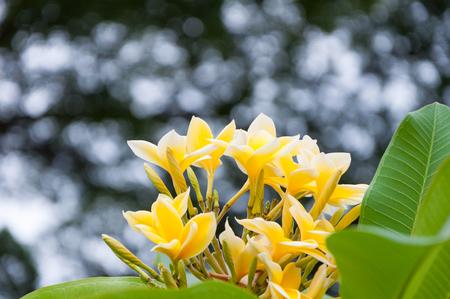 subtropical plants: Bush of beautiful yellow and white Frangipani or Plumeria flowers on tree Stock Photo