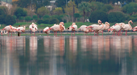 Flamingos in the lake with reflections.