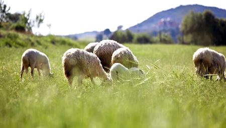 Flock sheep in summer field