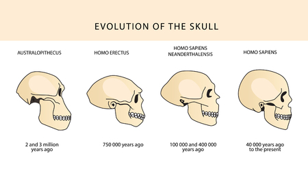 Human Evolution Of The Skull And Text With Dating. Evolution Of The Skull. Human Skull. Australopithecus, Homo Erectus. Neanderthalensis, Homo Sapiens. Historical Illustrations. Darwin's Theory. Illustration