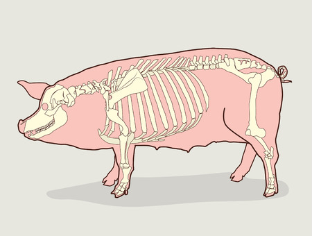 Pig Skeleton Vector Illustration Pig Skeleton Diagram Pig