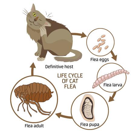 Life Cycle Of Cat Flea Vektor-Illustration. Die Ausbreitung von Infektionskrankheiten. Flöhen Tiere: Life Cycle Phasen der Entwicklung. Veterinärmedizin: Kranke Katze. Kranke Katze Symptome. Kranke Katze Diagnose.