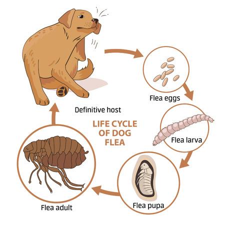 Ciclo vital de la pulga del perro. Ilustración del vector. Infección. La propagación de la infección. Enfermedades, pulgas Animales. Ciclo de Vida de las pulgas. Etapas de desarrollo. Medicina Veterinaria. Perro enfermo. Perro alérgica por pulgas.