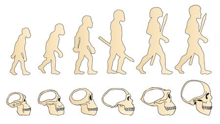 Evolution of the skull. Human skull. Vectores
