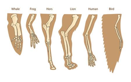 Structuur voormam van zoogdieren. Menselijke arm. Lion Forelimb. Whale Front Flipper. Vogel vleugel. Historische illustraties. Geïsoleerde Vector. Evolutie. De algemene ontwikkeling van de ledematen.
