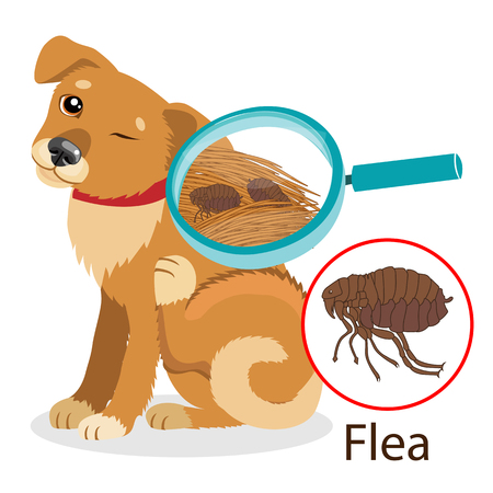 infected: Dog Parasite. Pet Flea Treatment. Flea In The Fur As A Close Up Magnification Vector. Spread Of Infection. Pet Veterinary Medicine Vector. Flea Control for Dogs.