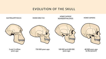 Human Evolution Of The Skull And Text With Dating. Australopithecus, Homo Erectus. Neanderthalensis, Homo Sapiens. Historical Illustrations. Darwins Theory.  イラスト・ベクター素材