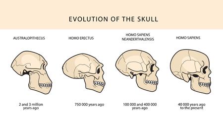 Menselijke evolutie van de schedel en tekst met datering. Australopithecus, Homo Erectus. Neanderthalensis, Homo Sapiens. Historische illustraties. Darwins theorie.