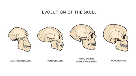 Human Evolution Of The Skull. Australopithecus, Homo Erectus. Neanderthalensis, Homo Sapiens. Historical Illustrations. Darwins Theory. Illustration