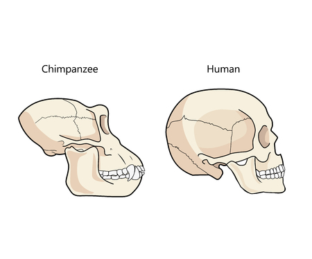 Human And Chimpanzee Skull Biology And Anatomy Vector Illustration. Comparative Primate Anatomy. Comparisons Of The Skull Vector.  イラスト・ベクター素材