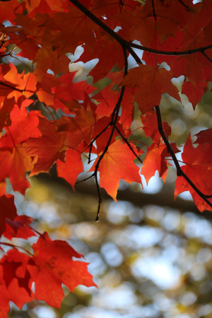maple tree around park at independent hall, USA photo