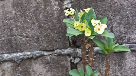 Crown of thorns flowers with cement background