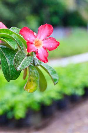 pink impala lily close up