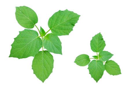 Leaves on white background ,isolated Stock Photo
