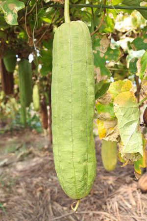Zucchini in garden from Thai Stock Photo