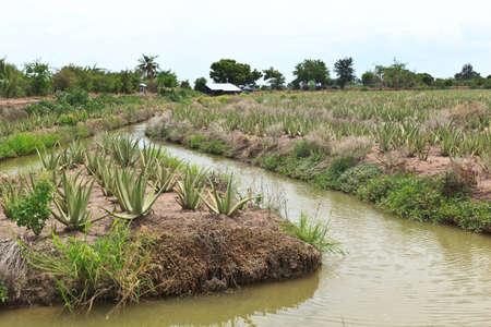 Aloe vera field in Thai  photo
