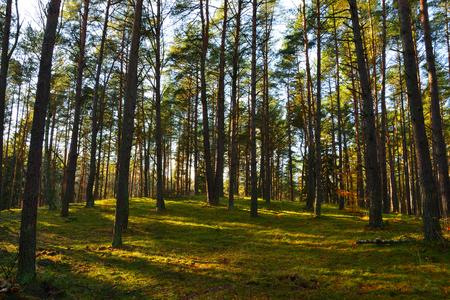 maleza: Árboles en el bosque de pinos al sol de otoño.