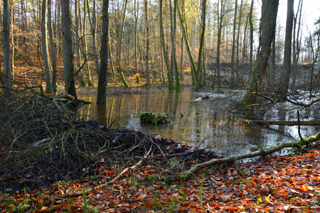 Beavers dam on stream in the autumn forest. Stock Photo