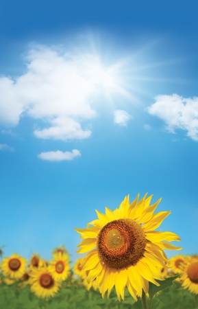 bright gold ripe sunflower on blue sunny sky photo