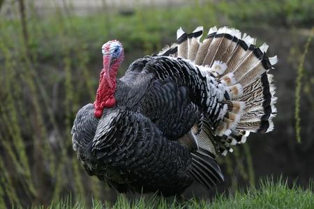 Wild Turkey aan de rand van het bos. Stockfoto