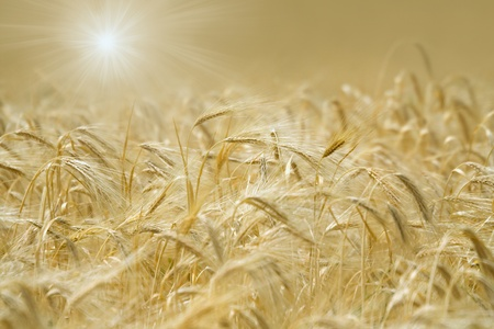 spikelets: Golden spikelets of wheat in the sunlight.