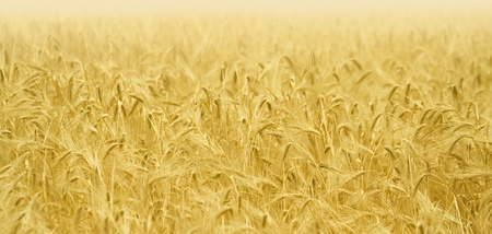 Golden ears of wheat on the field. Stock Photo - 11979275