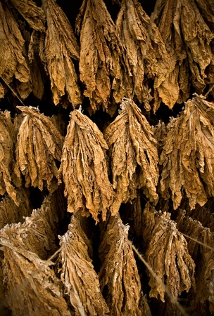 The classic method of drying tobacco in the barn Stock Photo - 11979400