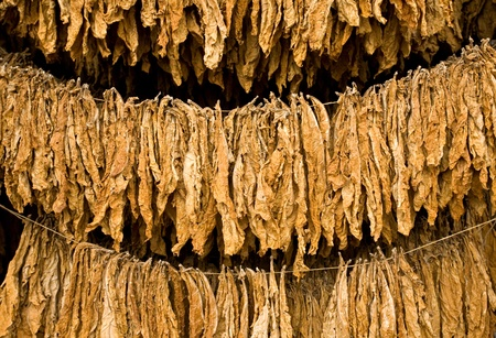 tobacco plants: The classic method of drying tobacco in the barn