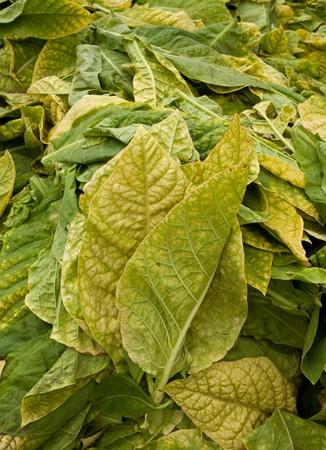 evaporacion: Tabaco listo para el secado de la hoja