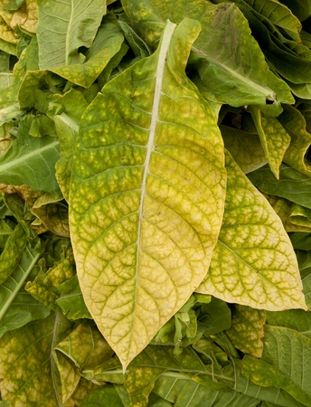 Tobacco leaf ready for drying photo