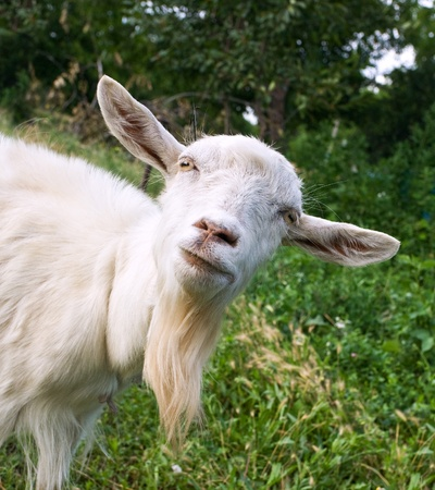 Funny goat on the green meadow photo