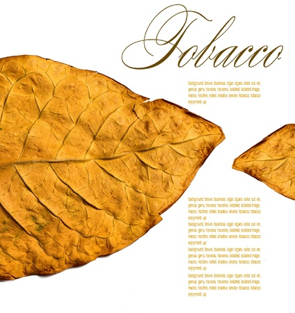 tobacco leaf: isolated tobacco leaves on a white background