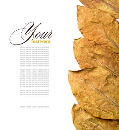 tobacco plant: dry leafs tobacco closeup Stock Photo