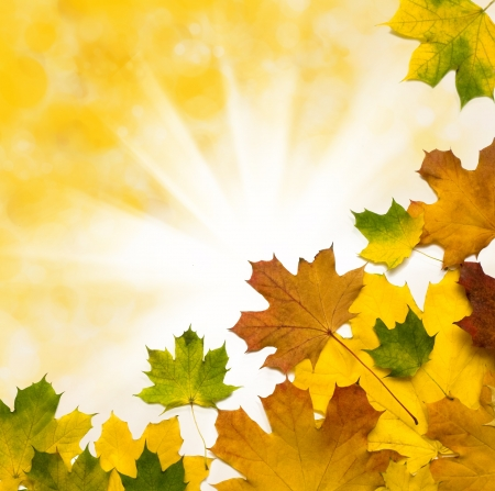 changing colors: Beautiful autumn background with maple leaves Stock Photo