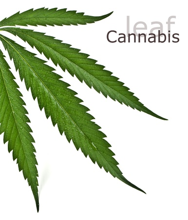 Cannabis leafclose up on white photo
