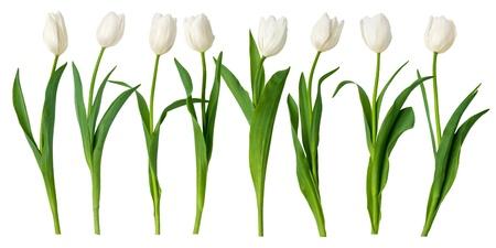 tulips isolated on white background:  white tulips, on white background
