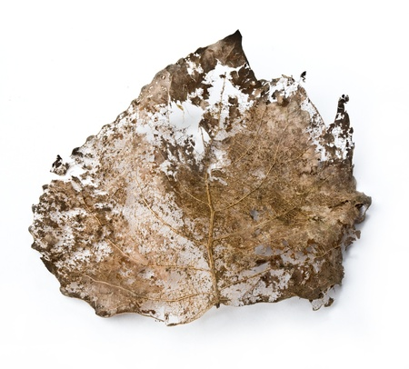 dead leaf: close-up of dry leaf on a white background