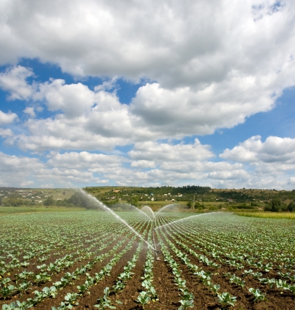 pivotal: irrigation of young cabbage field Stock Photo