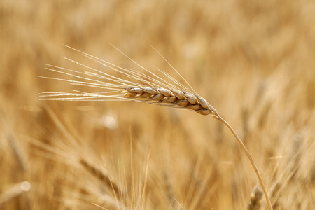 afield: Golden grain ears close up Stock Photo