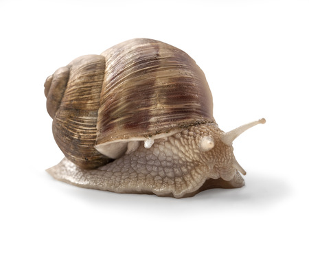 slithery: Garden snail on white background with clipping path Stock Photo